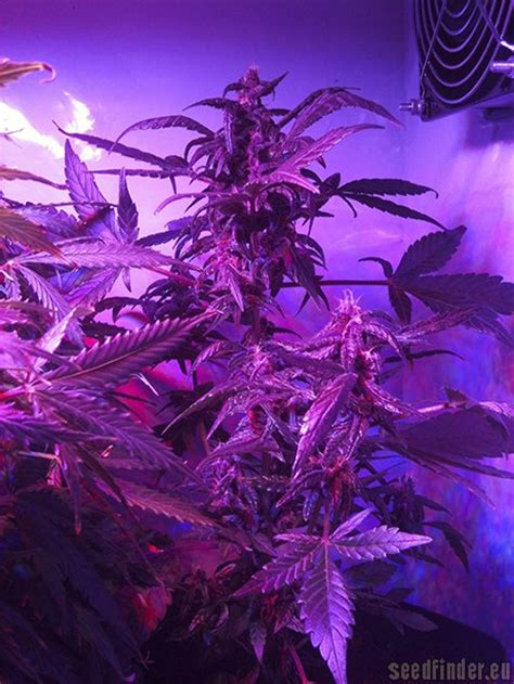 buddha purple kush  buddha seeds seedfinder info