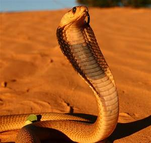 Cobra Snake Head | Wallpapers Gallery