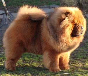 glorious Chow Chows Pinterest