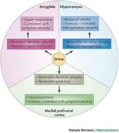 Brain Amygdala Hippo Campus and Stress Response