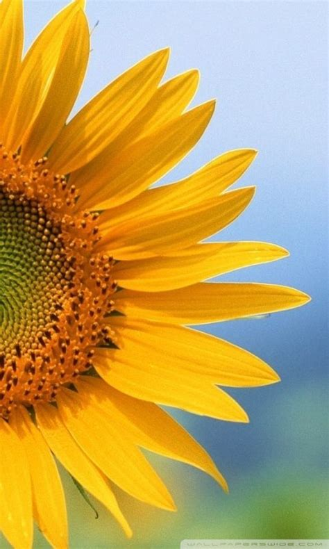 sunflower mobile wallpaper gallery