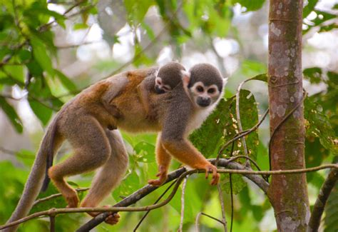 New World Monkeys  Facts, Information & Habitat