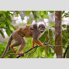 New World Monkeys  Facts, Information & Habitat