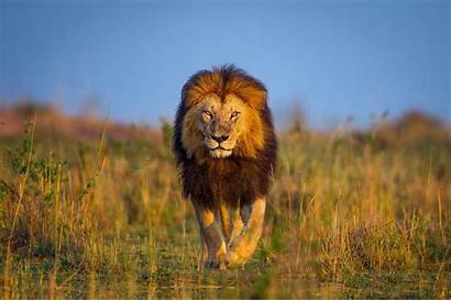 Lion Animals Wildlife Nature Desktop Wallpapers Backgrounds