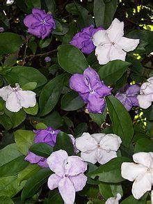 brunfelsia wikipedia