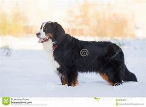 Bernese Mountain Dog Puppy Snow