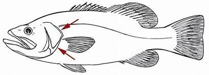 Gills Fish