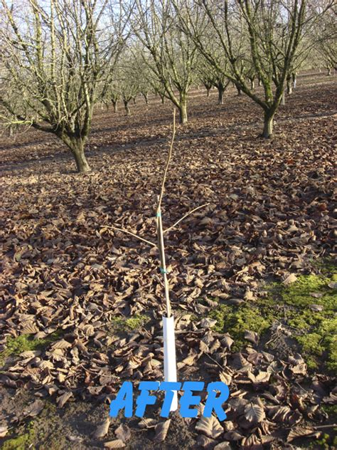 pruning hazel trees first year pruning after growing hazelnuts