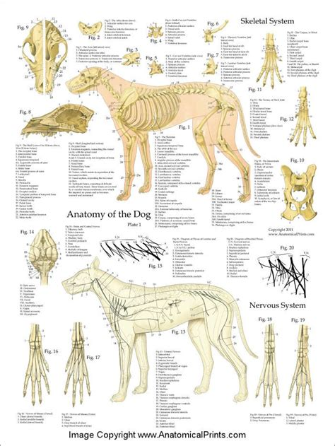 The central nervous system includes the spinal cord and the brain. The 25+ best Dog anatomy ideas on Pinterest | Veterinary ...