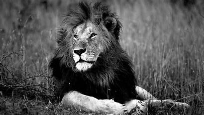 Lion Lions Wallpapers Wild Wallpapersafari Windows Code