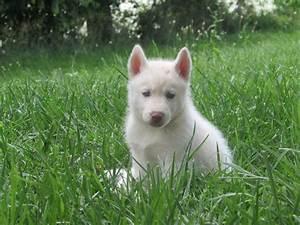 Siberian Husky Puppies-Shoal Creek Puppies
