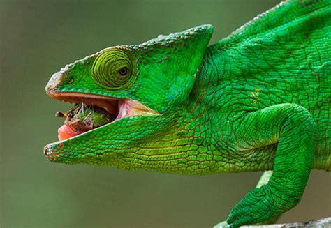 chameleon pet are chameleons good pets related keywords are chameleons good pets long tail keywords keywordsking