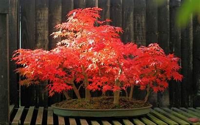 Bonsai Tree Background Desktop Forest Maple Wallpapers