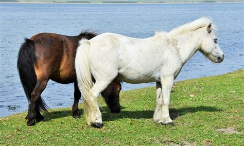 pony breeds shetland adults children magazine