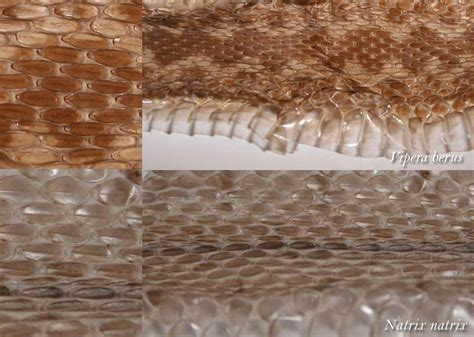 Snake Skin Shed Identification by Identification By Shed Snake Skin Reptiles And