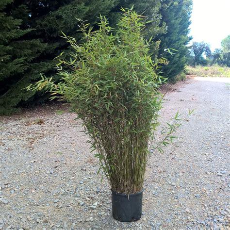 petit bambou fargesia jiuzhaigou plantes et jardins