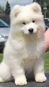 Samoyed Puppy - FaveThing.com