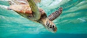 Where to see turtles in Australia   Austravel Blog
