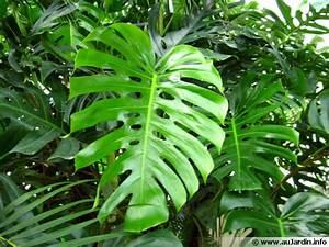 Plante D Intérieur Haute : plante verte exotique d int rieur l 39 atelier des fleurs ~ Dode.kayakingforconservation.com Idées de Décoration