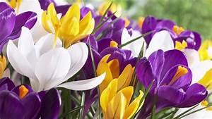Glücksklee Zwiebeln Kaufen : vrac en gros bulbi de br ndu e crocus din olanda green garden flower bulbs ~ Orissabook.com Haus und Dekorationen