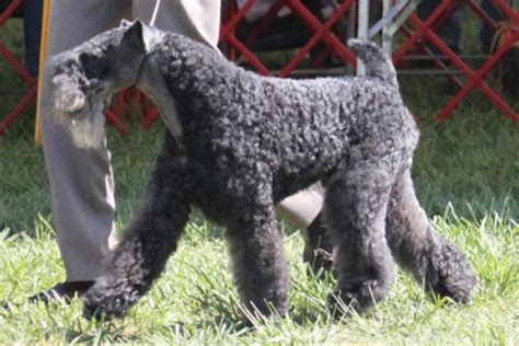 kerry blue terrier breed information kerry blue terrier