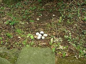 Ameisennest Im Haus : chaosgarten weinbergschnecken dekorativ ~ Markanthonyermac.com Haus und Dekorationen