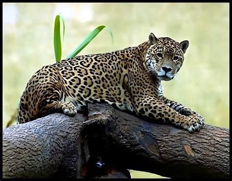Jaguar at rest   The jaguar (Panthera onca) is a big cat ...