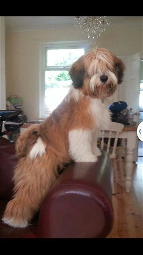 Tibetan Terriers Do They Shed by Dunlop 8mth Tibetan Terrier Dogs