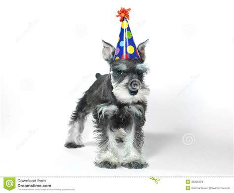 birthday hat wearing miniature schnauzer puppy dog