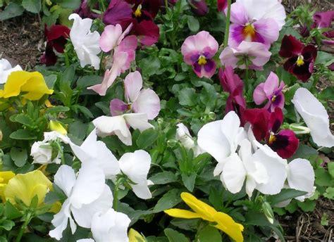 australian violaceae