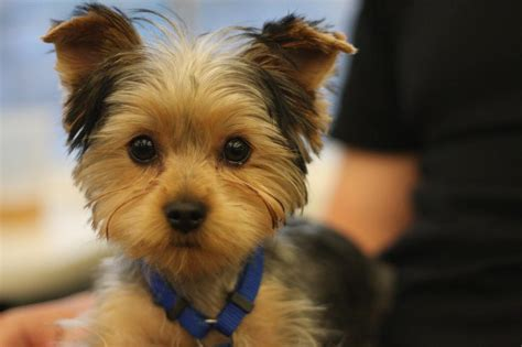 Dog Yorkie Puppy Cut Haircut   Dog Breeds Picture