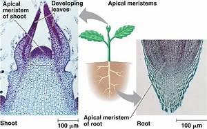 Root Apical Meristem