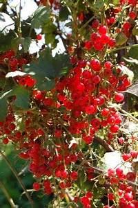 Wann Johannisbeeren Pflanzen : die besten 25 currant bush ideen auf pinterest obstb sche anbau von heidelbeeren und ~ Orissabook.com Haus und Dekorationen