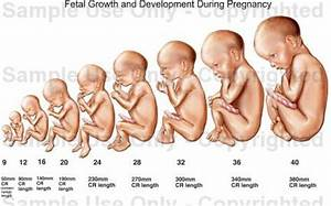 Pics For > Human Fetus Stages