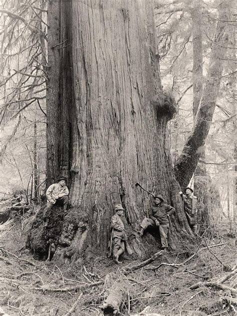 9 Best Chestnut Trees Images On Pinterest American
