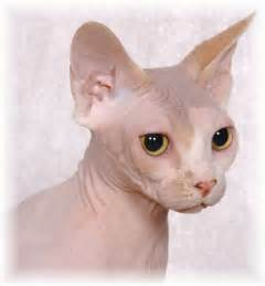sphynx cat www sphynx cattery
