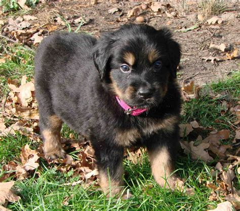 Hovawart Dog Info Temperament Puppies Pictures