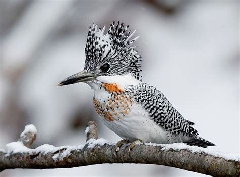 crested kingfisher wikipedia