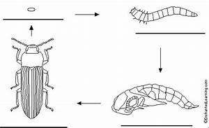 Label Life Cycle Of The Mealworm  Darkling Beetle Printout