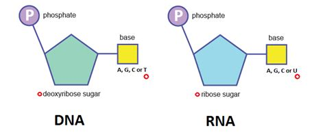 Structure Of Dna And Rna  The A Level Biologist  Your Hub