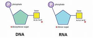 Structure Of Dna And Rna - The A Level Biologist