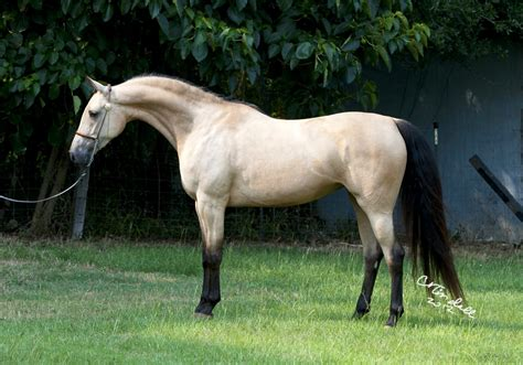 arabian horse wild life world