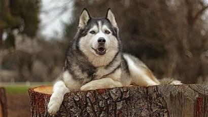 Siberian Huskies Wallpapers Husky Desktop 1080p Backgrounds