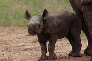 black rhino Archives - Animal Fact Guide