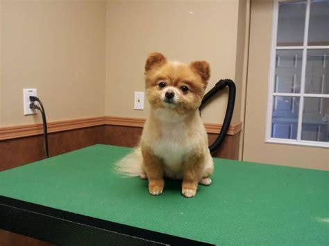Pomeranian Teddy Bear Trim, Puppy Cut, Haircut, Pom