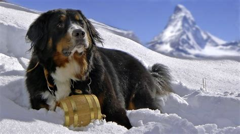 bernese mountain dog in the snow on a background of mountains wallpapers and images wallpapers