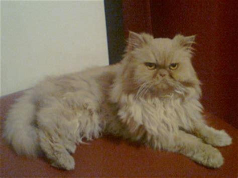 foto persiani gattipersiani it gatti persiani
