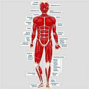 human body muscle diagram detailed - DriverLayer Search Engine
