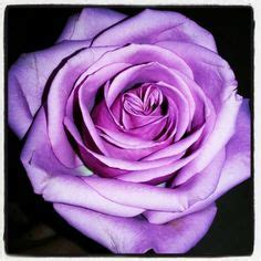 images  purple roses  pinterest purple