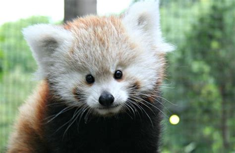 Red Panda Cub Makes Its Public Debut At Zoo In Indiana Us